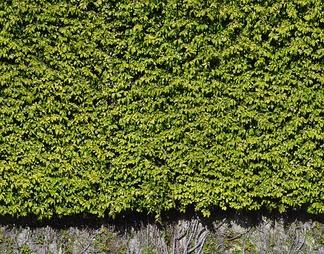 爬山虎植物墙贴图