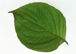 绿色树叶贴图