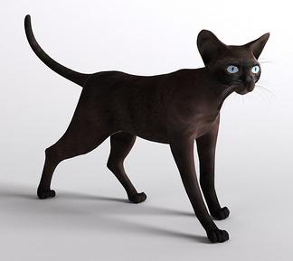 黑猫小猫宠物猫