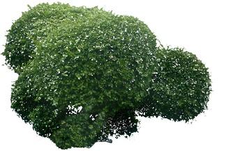 圆球灌木组