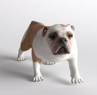 哺乳动物斗牛犬狗