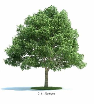 麻栎属植物